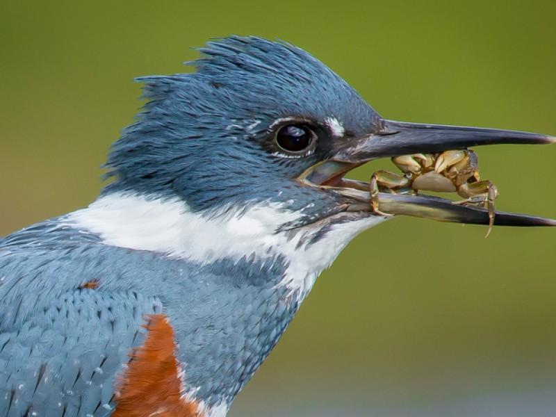 Guías de las Aves de Chiloé